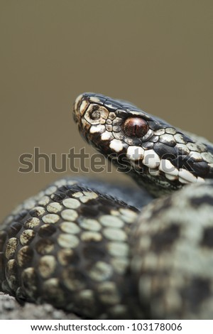 A European Adder (Vipera berus) in a defensive posture against a smooth pale background. - stock photo