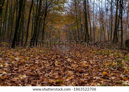 A European Beech forest in autumn colours. Picture from Scania county, southern Sweden