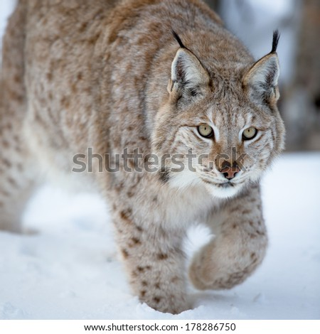A european lynx in the forest. Cold winter, February, Norway.