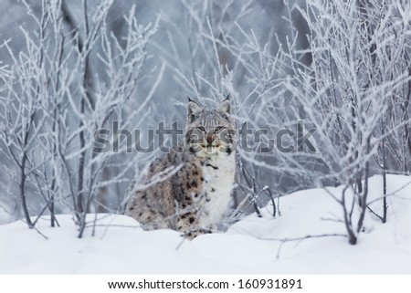 A european lynx in the snow. Cold norwegian winter.