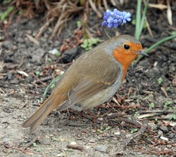 A European robin bird standing on the ground next to a small blue flower