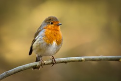 A European Robin (erithacus rubecula) perched on a branch