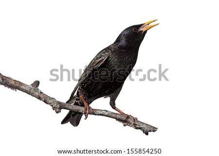 A European starling scream out while stretched on a birch branch. Yellow beak wide-open, white background