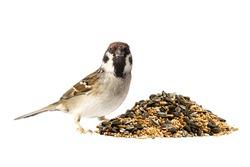 A european tree sparrow sitting next to a pile of mixed bird seeds on white background
