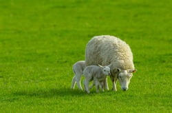 A ewe and her two newborn lambs with one lamb snuggling up close to her.  Concept: A mother's love.  The ewe is grazing in a lush green meadow.  No people.  Horizontal.  Space for copy.