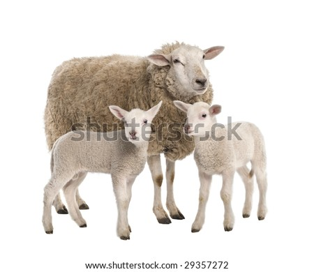 a Ewe with her two lambs in front of a white background
