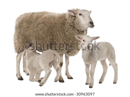 a Ewe with her two lambs, one is suckling in front of a white background