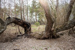 A fabulous dramatic tree with a burnt black trunk after a lightning strike. A charred tree struck by lightning during a thunderstorm. Ukraine, city of Izium, April 11, 2021