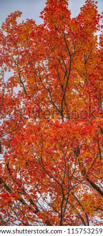 A Fabulous Fall pic - awesome red maple - vertical panorama. The stunning vibrant red seen on these Maple leaves shows fall foliage at its best. Maples are big show offs & proudly display their reds.