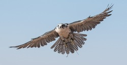 A falcon during a falconry training in the desert in Dubai, United Arab Emirates.