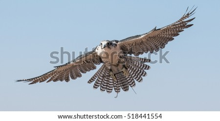 Shutterstock A falcon during a falconry training in the desert in Dubai, United Arab Emirates.