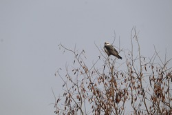 A falcon eagle perches on the last branch of a tree, waiting for its prey.