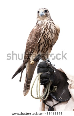a falcon on handlers hand