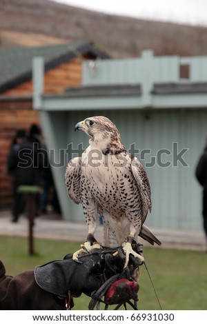 a falcon perched on its trainers hand