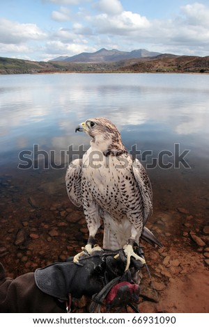 a falcon perched on its trainers hand in a beautiful nature scene with a clipping path