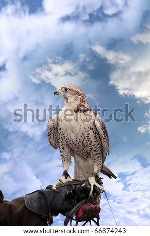 a falcon perched on its trainers hand with a clipping path