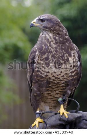 a falcon used for falconry