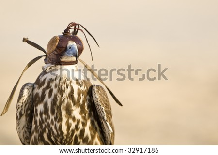 A falcon wearing its hood, shot in a middle eastern desert location.