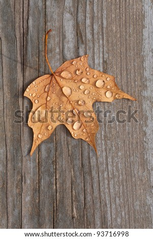 A fall maple leaf with water droplets sitting on old deck wood.