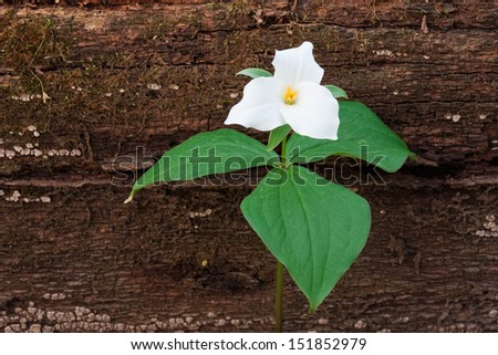 A fallen tree in the woodland provides background for a perennial wildflower. The large white petals and green leaves of the large flowered trillium make stand out next to the decayed brown trunk.