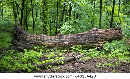 A fallen tree is rotting in the middle of the forest