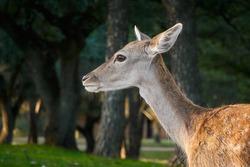 A fallow deer grazes during the bellowing in El Pardo. Madrid. Spain
