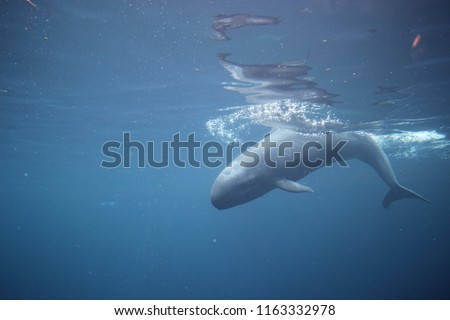 A False Killer Whale, Chester, in Vancouver Aquarium, Canada