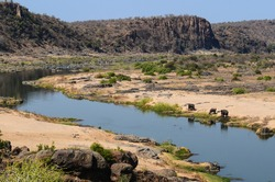 A family of African elephants drinking on the Olifants river while two crocodiles approach, Kruger National Park, South Africa