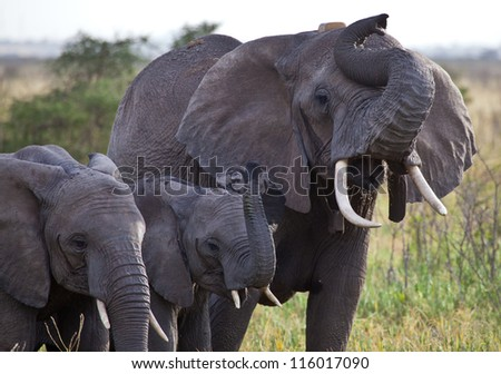 A family of African Elephants sniff the air. Serengeti National Park, Tanzania.