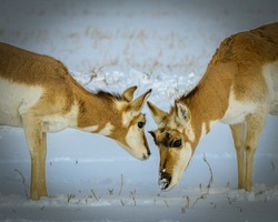 A family of antelope near Yellowstone in wintertime share a tender moment