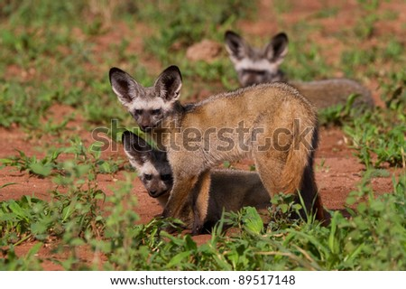 A family of bat-eared foxes