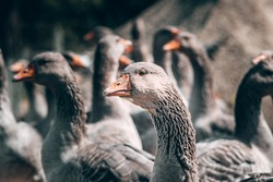 A family of beautiful grey Perigord geese with an orange beak. Portrait of a goose, charming village birds with feathers and beak. A flock of geese looks at the camera and poses.