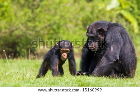 a family  of chimps sitting on some green grass , relatives