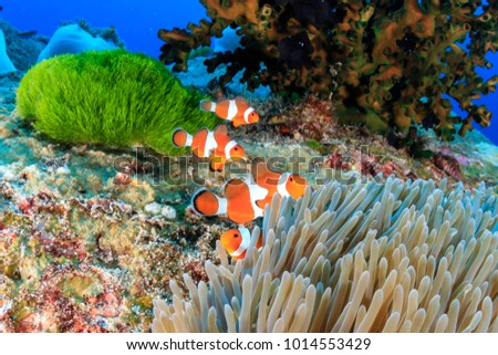 A family of Clownfish on a colorful, tropical coral reef #1014553429