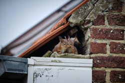 A family of curious squirrels made its nest in a high gutter, right in a gap underneath the tiles of the roof and next to the uppermost part of the brick wall.