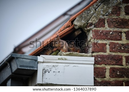 A family of curious squirrels made its nest in a high gutter, right in a gap underneath the tiles of the roof and next to the uppermost part of the brick wall.  Stockfoto ©