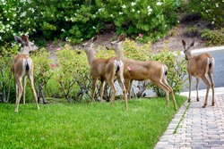 A family of deer eating rose bushes in suburban California garden