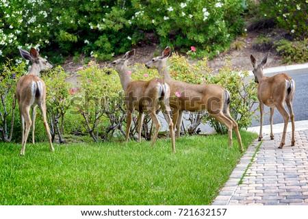 A family of deer eating rose bushes in suburban California garden #721632157