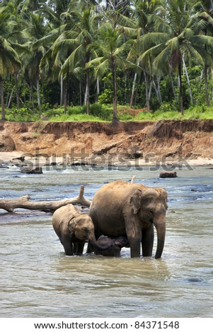 A family of elephants in the river. Pinnawela elephant orphanage, Sri Lanka