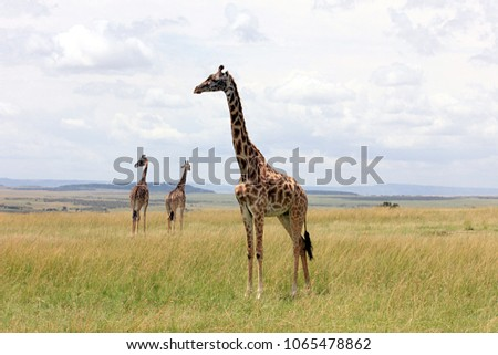 A family of giraffes standing in the savanna in Masai Mara National Reserve, Kenya, South Africa.