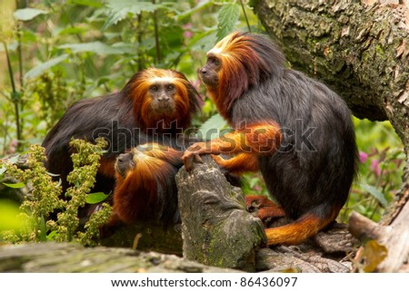 A family of golden-headed lion tamarins happily sticking together on a tree.