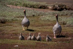 A family of goslings on the banks of the River Orwell near Ipswich, Suffolk, UK