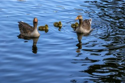 A family of greylag geese, Anser anser, swimming across the blue water of the boating lake in Regent's Park, London. The large gray-brown goose and gander with orange beaks have three goslings
