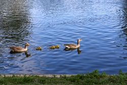 A family of greylag geese, Anser anser, swimming in a line across the blue water of the boating lake in Regent's Park, London. The large gray-brown goose and gander with orange beaks have 3 goslings