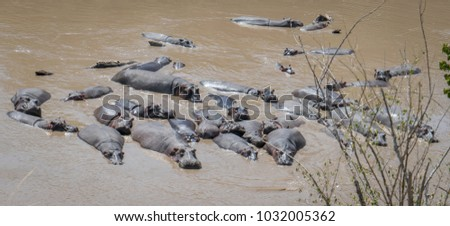 A family of hippos in the Mara River in Kenya