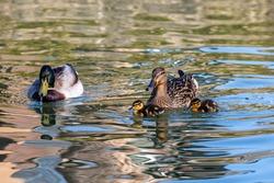 A family of mallard ducks swimming in the spring sunshine