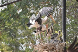 A family of Painted Stock is resting on a nest. The mother bird is protecting her chicks by spreading her wings.
