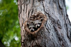 A Family of Racoons hanging out in a maple tree.