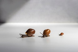A family of snails crawls on a white table.Snails with brown shells and antennae.Three snails crawl one after another on a white background.Snail with horns and brown spiral shell.