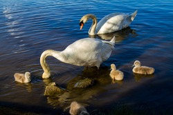 A family of swans in the water, a pair of adults and small baby chicks (cygnets).
